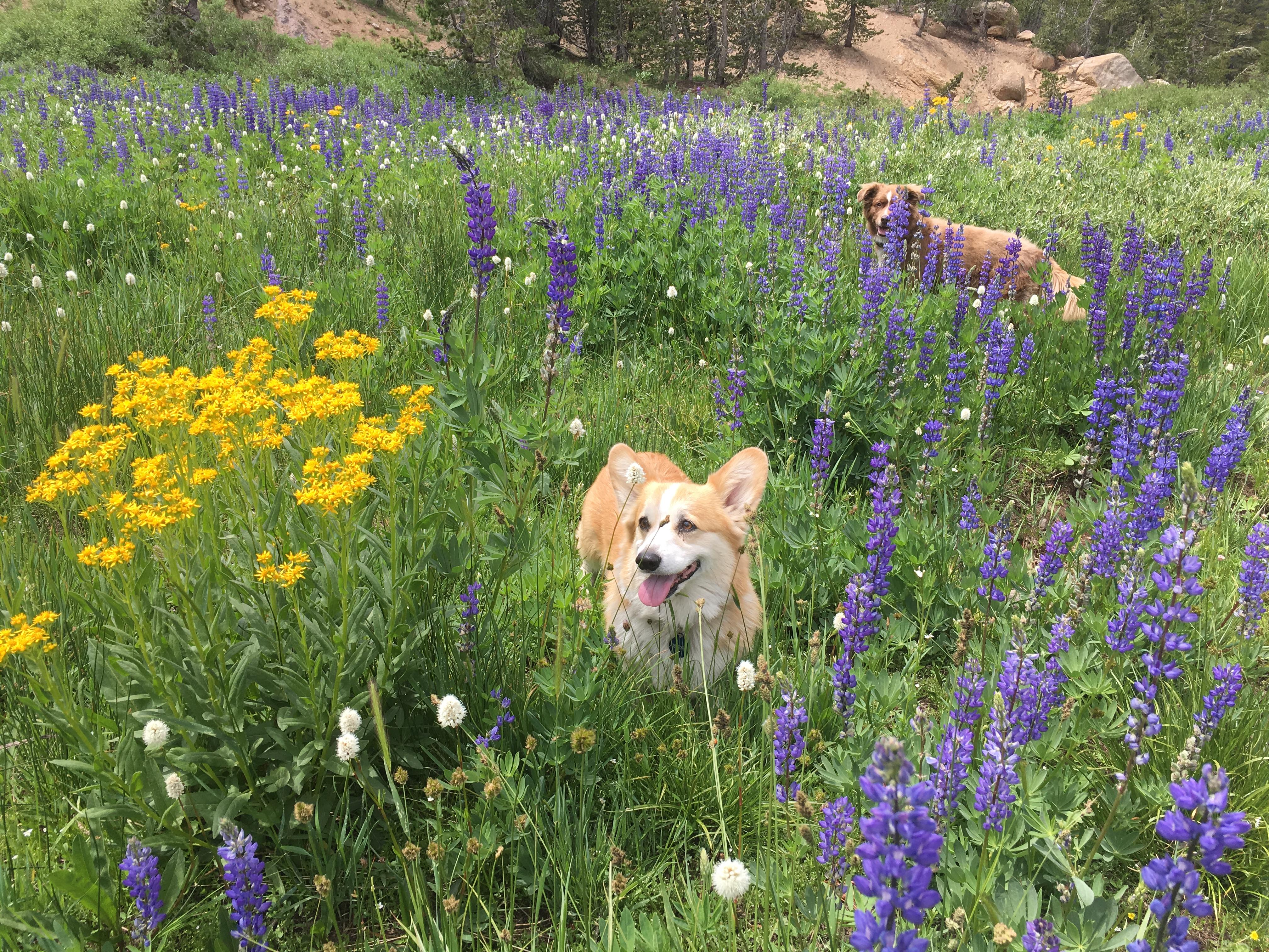 Calvin the Corgi enjoys wildflower hikes too.