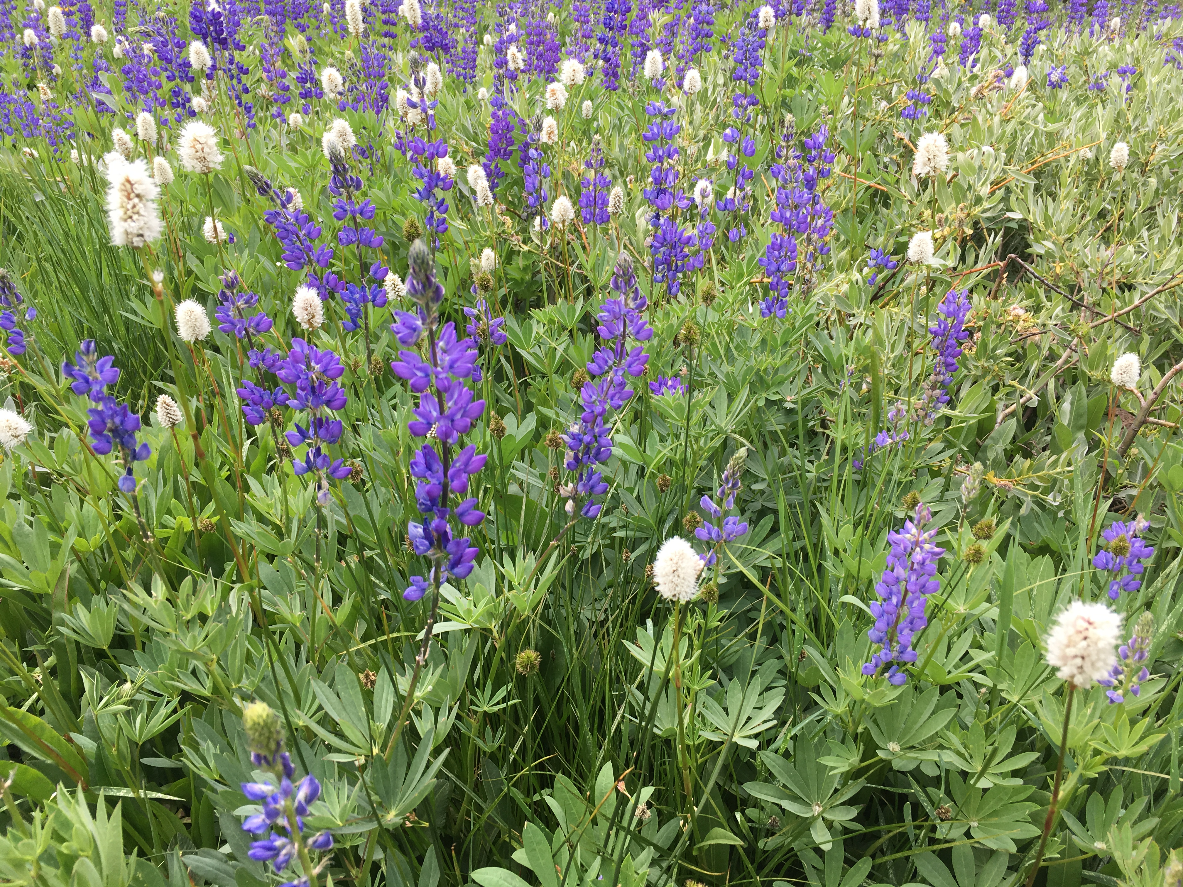 Lupines take center stage at Lake Forest Beach